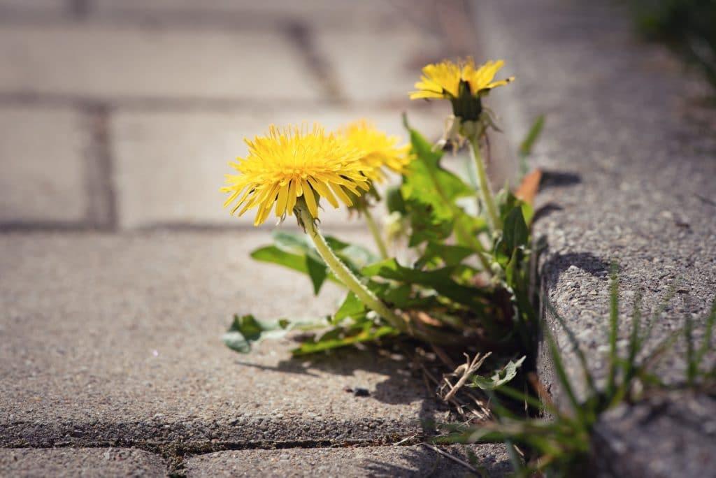 dandelion au bord d'un trottoir